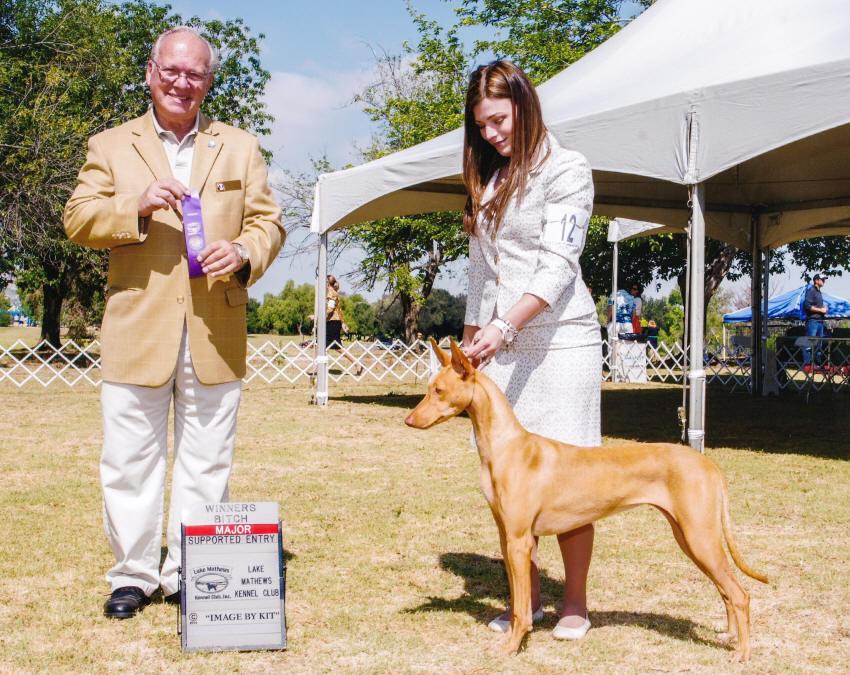 Pharaoh hound - XO Dogs